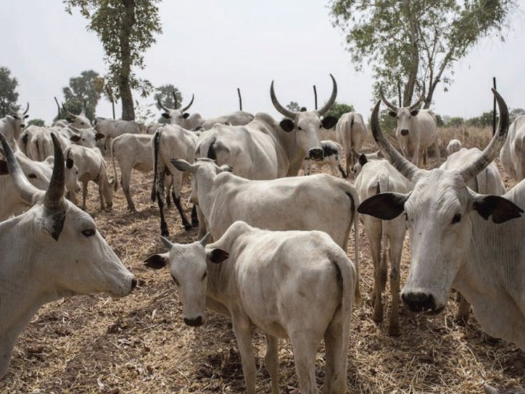 Cattle Tax