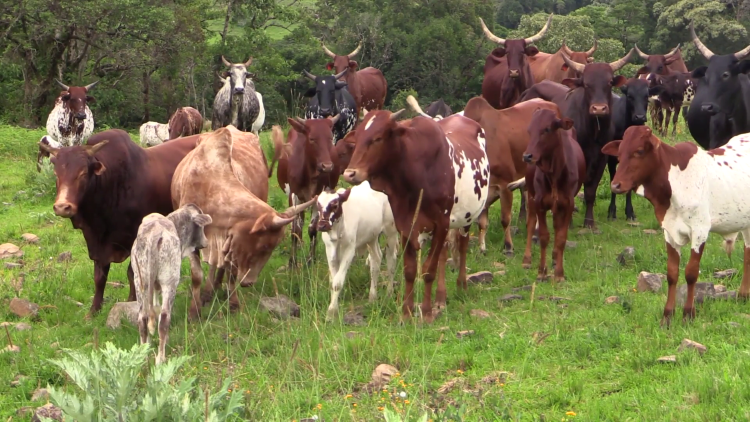 to stop open grazing in Northern Nigeria