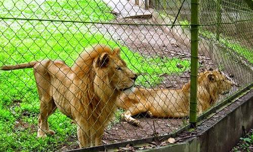 Philanthropist Adopts Three Lions From Imo Zoo
