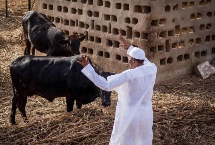 Buhari grazing
