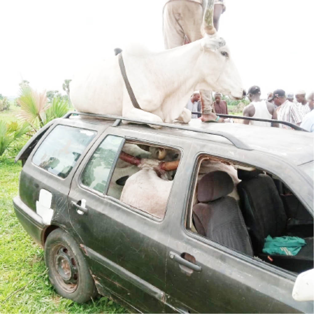 Fulani cows